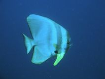 Bat fish Royalty Free Stock Photos