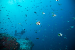 Bat fish floating in deep blue ocean Royalty Free Stock Photography