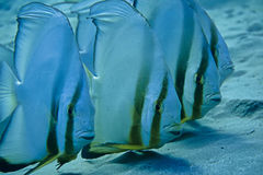 Bat Fish Royalty Free Stock Images