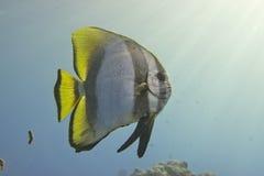 Bat fish portrait Stock Photo