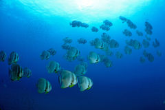 bat fish underwater near oil rig Stock Photography