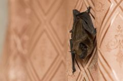 The bat flew into the apartment royalty free stock photography