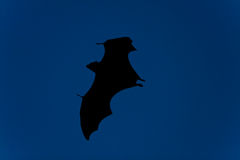 Bat in flight at night Royalty Free Stock Photos
