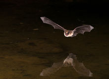 Bat in Flight. During the night with reflection Stock Photos