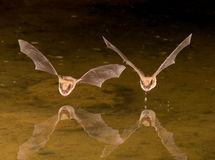 Bat in Flight Stock Photography