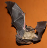 A bat on the floor. A bat flew into the room Royalty Free Stock Images