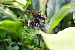 Bat flower Stock Photos
