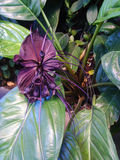 Bat flower ( Tacca chantrieri  Andre ),herb in south-eastern Asi Royalty Free Stock Photos