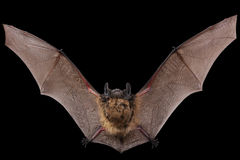 Bat fly Royalty Free Stock Photo