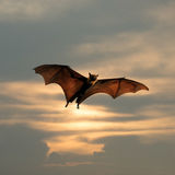 Bat flying. As Halloween background Stock Image