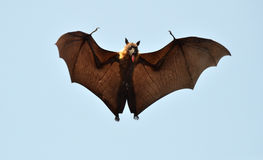 Bat or Flying Dog. A bat clicked with long tongue above upper lake in Bhopal. Bhopal get very Hot these days and temp. touches 42 degree Stock Photos