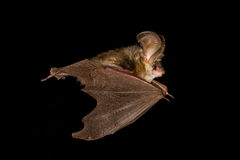 Bat flying isolated on black. Long-eared bat flying on the dark night Royalty Free Stock Photography