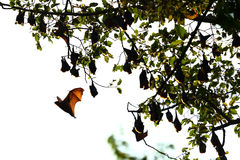 The bat. Bat in the fores, thailand Stock Photo