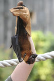 Bat Royalty Free Stock Image