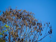 A Bat habitat , large group of bats hanging on a tree in South Australia botanical garden. royalty free stock images