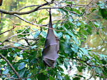 Bat hanging on branch Stock Photo