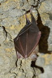 Bat hanging in the cave Royalty Free Stock Photography