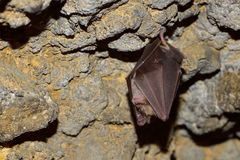 Bat hanging in the cave Royalty Free Stock Image