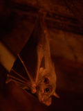 Bat hanging from the ceiling. Of a barn royalty free stock photography