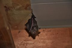 Bat. A bat hanging down from a spruce plank Royalty Free Stock Photo