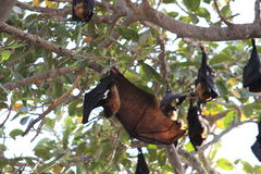 Bat hanging down on tree branch with open wings Stock Photos