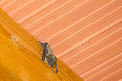 Bat hanging on roof. A close up of a bat hanging upside down on a wooden beam on the ceiling inside a house Royalty Free Stock Images