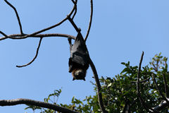 Bat hanging on the tree Royalty Free Stock Photography