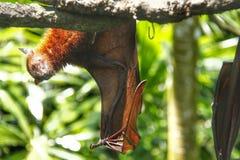 Bat Royalty Free Stock Image