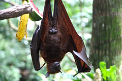 Bat is hanging on a tree branch, Singapore Royalty Free Stock Photo