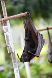 Bat hanging on a tree branch Stock Images