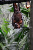 Bat hanging on a tree branche Royalty Free Stock Images