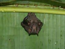 Bat hanging under Banana leaf Stock Photo