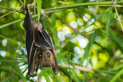 Bat. Hanging upside-down on a bamboo tree royalty free stock image