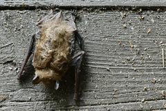 Bat. A bat hanging upside down on a fence at Mirror Lake State Park near Wisconsin Dells Stock Images