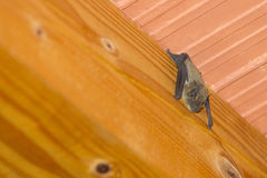 Bat hanging upside down on roof. A close up of a bat hanging upside down on a wooden beam on the ceiling inside a house Royalty Free Stock Photography