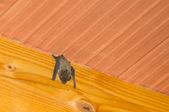 Bat hanging upside down on wooden beam. A low angle view of a bat hanging upside down on a wooden beam on the ceiling inside a house Royalty Free Stock Image