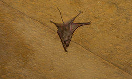 Bat hanging from a wall Royalty Free Stock Photos