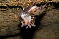 Bat holding on a wall Royalty Free Stock Photos