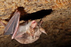 Bat holding on a wall Stock Image