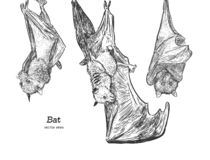 Bat illustration vector. Set of hanging bat, hand draw sketch vector royalty free illustration