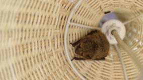 Bat inside wicker lamp Royalty Free Stock Photos