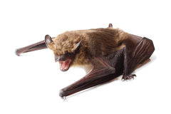 Bat isolated on white Royalty Free Stock Photo