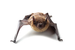 Bat isolated on white Royalty Free Stock Photos