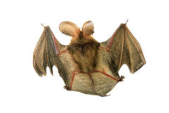 Bat isolated on white. A close up of the small bat. Isolated on white Royalty Free Stock Photography