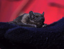 Bat laying at human`s hand close-up Royalty Free Stock Image
