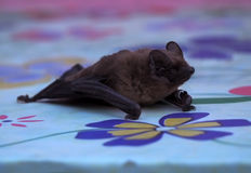 Bat laying at table close-up Stock Photo
