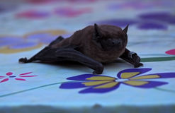 Bat laying at table close-up and looking at camera Stock Photo