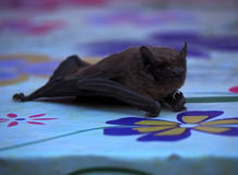 Bat laying at table close-up and looking at the camera Stock Photo