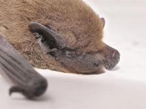 Bat macro Stock Images