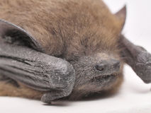 Bat macro Royalty Free Stock Photos
